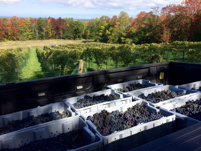 Red Wine Harvest at the Roost Winery